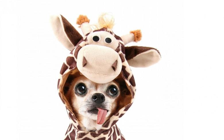Chihuahua Giraffe Costum wallpapers