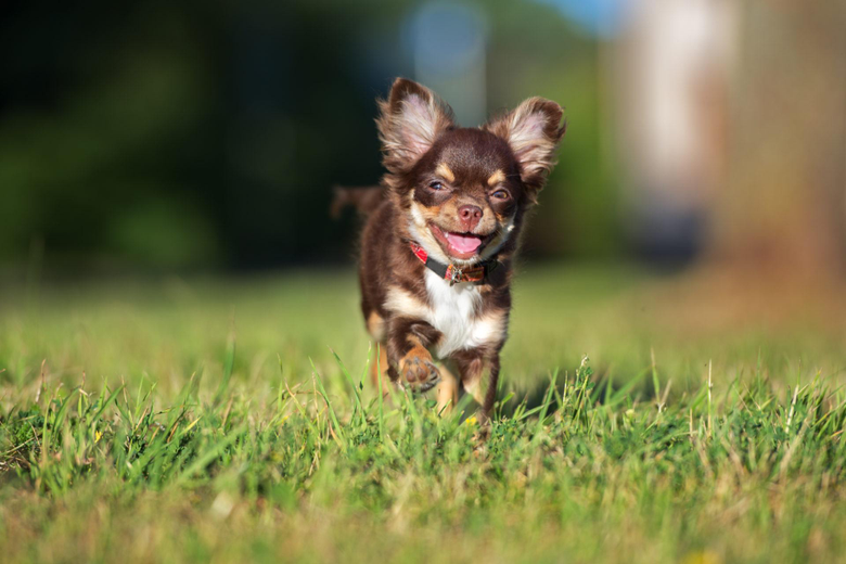 My Chihuahua HD Wallpapers New Tab Theme