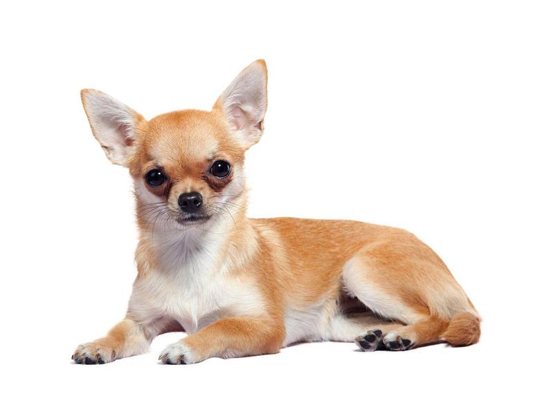 Chihuahua PNG HD Transparent Chihuahua HD PNG Image