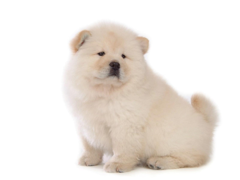Chow Chow HD Wallpapers