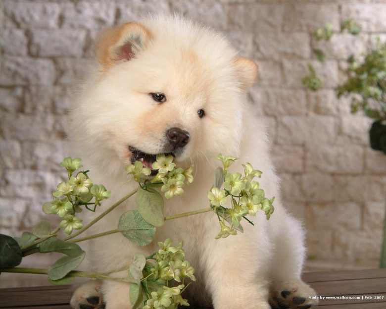Chow Chow Puppy Wallpapers