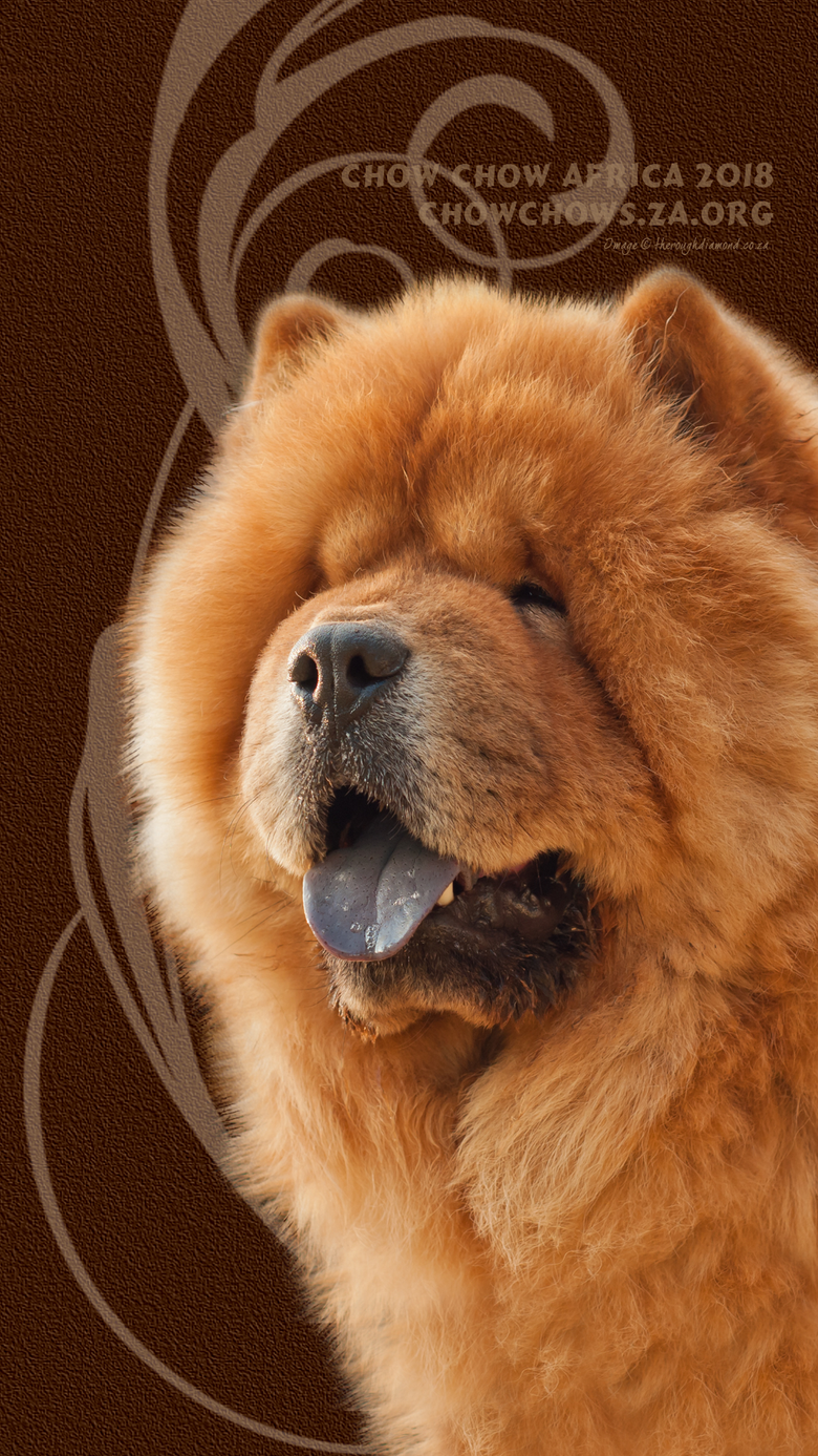 Chow Chow Africa