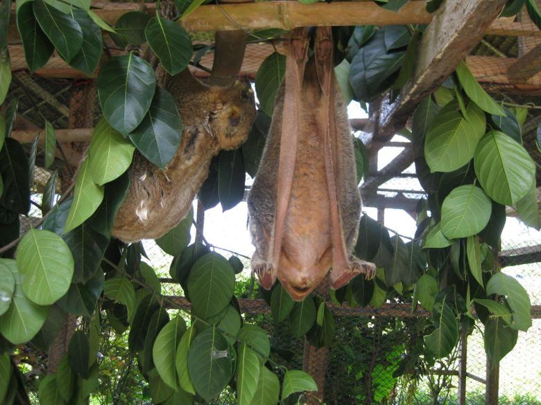 Colugo Amazing Asian Flying Lemur Lazer Horse