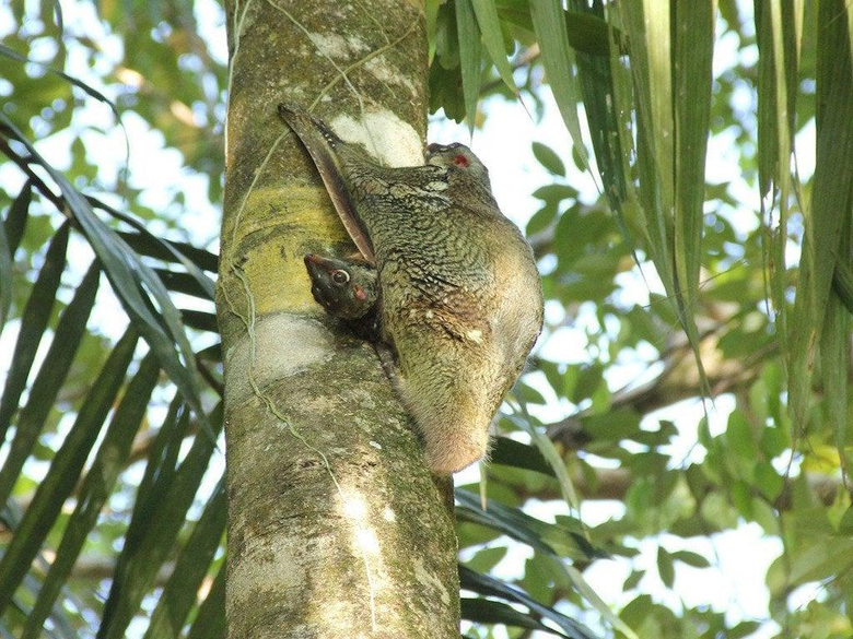 Colugos are gliding mammals related to primates They give