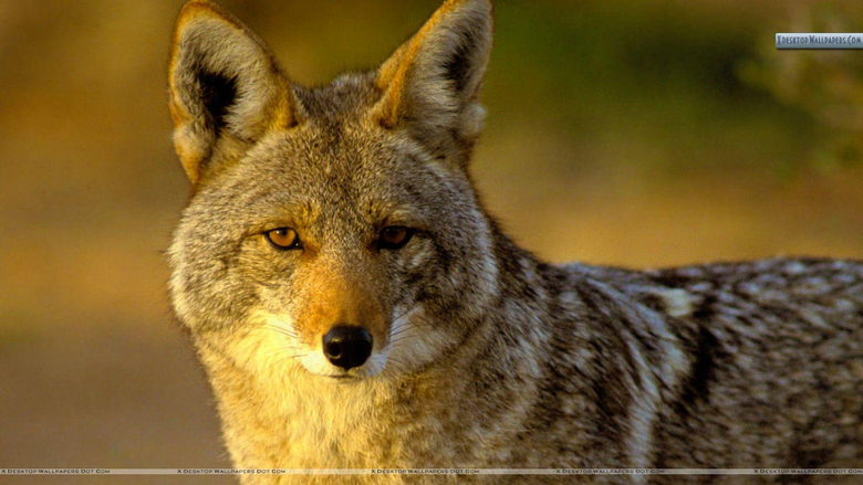 Coyote Puppy Wallpapers