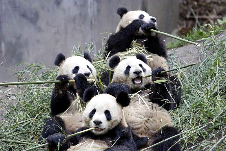 Giant Panda Wallpapers Wallpapers