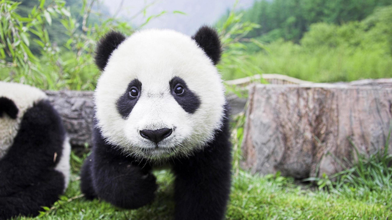 Baby Panda Bear Wallpapers