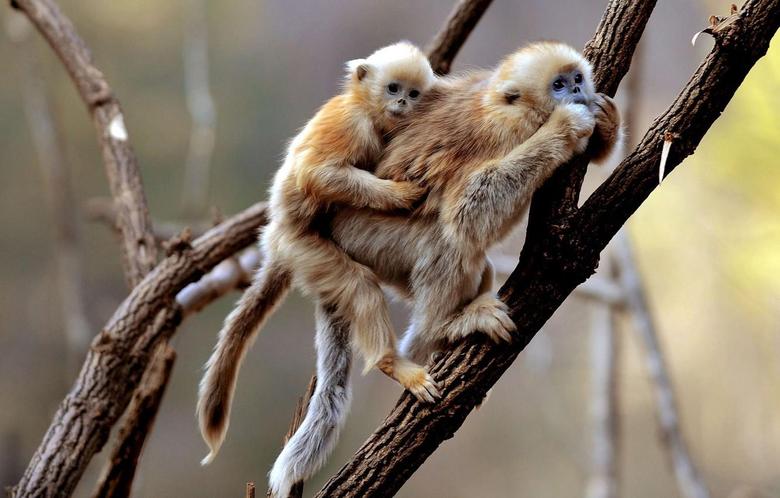 Wallpapers monkey monkeys monkey monkeys primates Gibbon