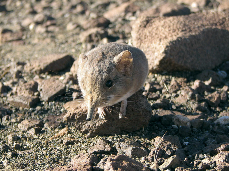 New Shrew Looks Like a Mouse but It s More of an Elephant