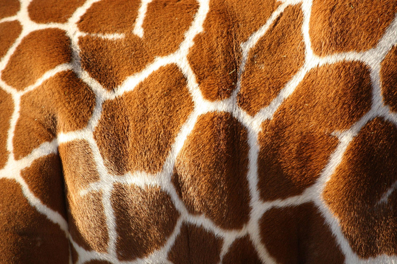 Giraffe Print Wallpapers