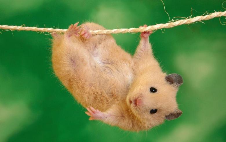 Hanging hamster wallpapers