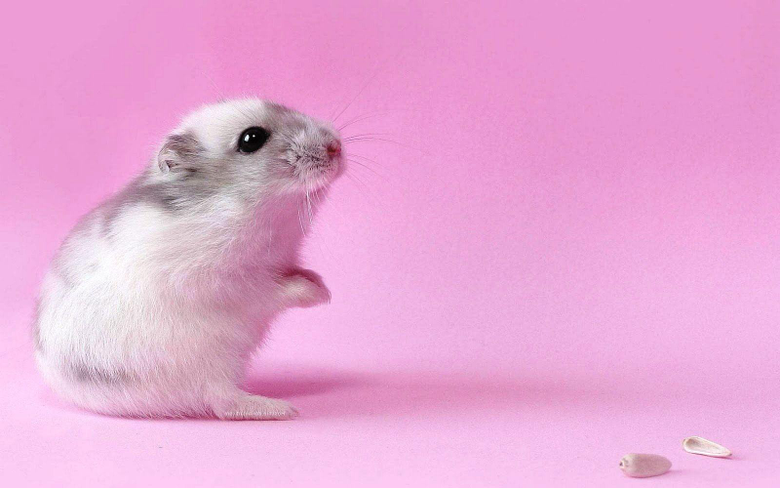 Hamster Wallpapers FN21 HDQ Cover Wallpapers For Desktop And Mobile