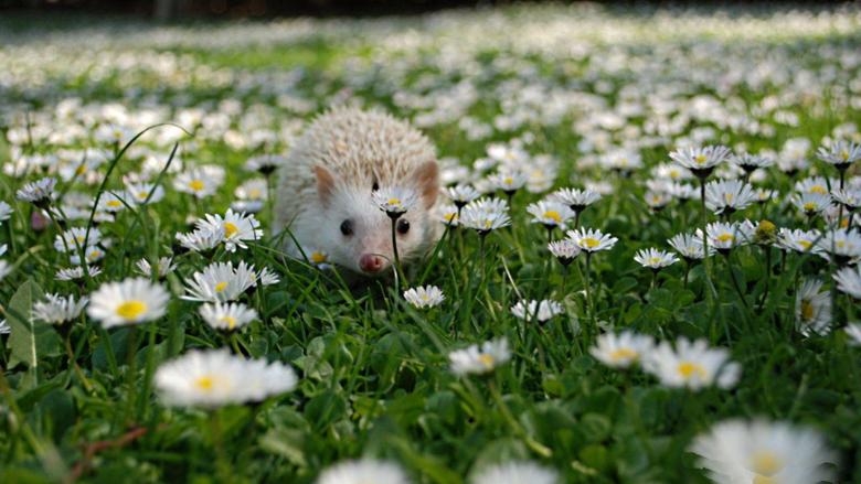 Hedgehog HD Wallpapers