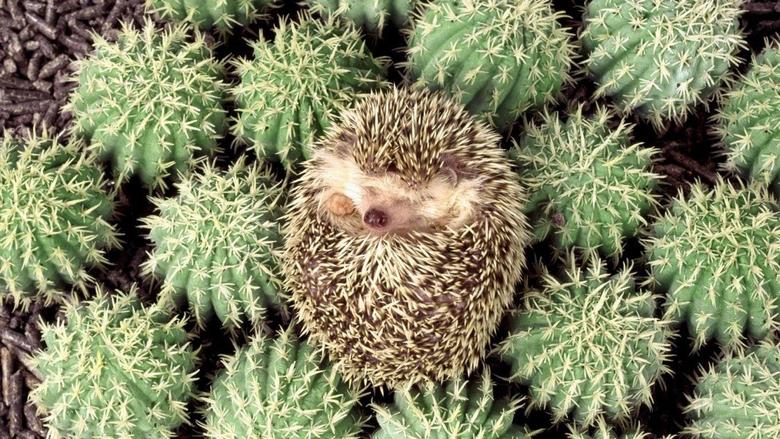 Hedgehog HD Desktop Wallpapers