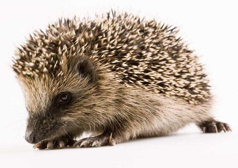 Hedgehogs Closeup Animals White backgrounds