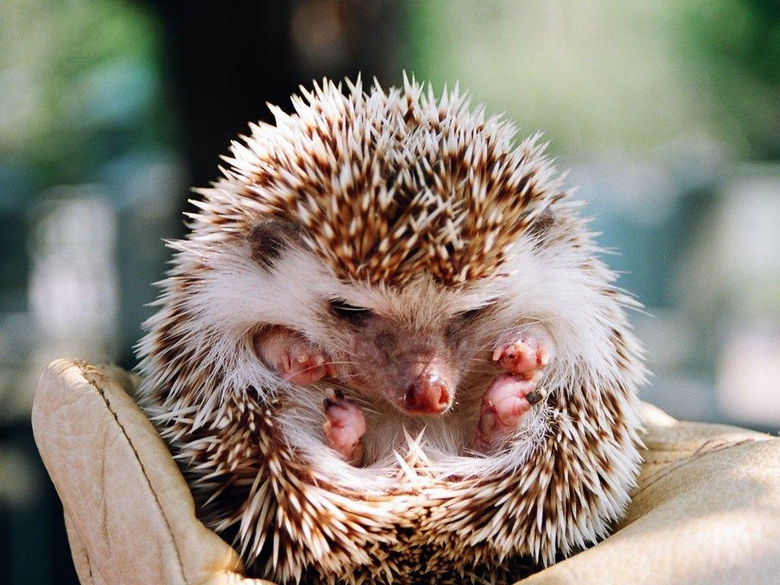 Small Hedgehogs Wallpapers High Quality