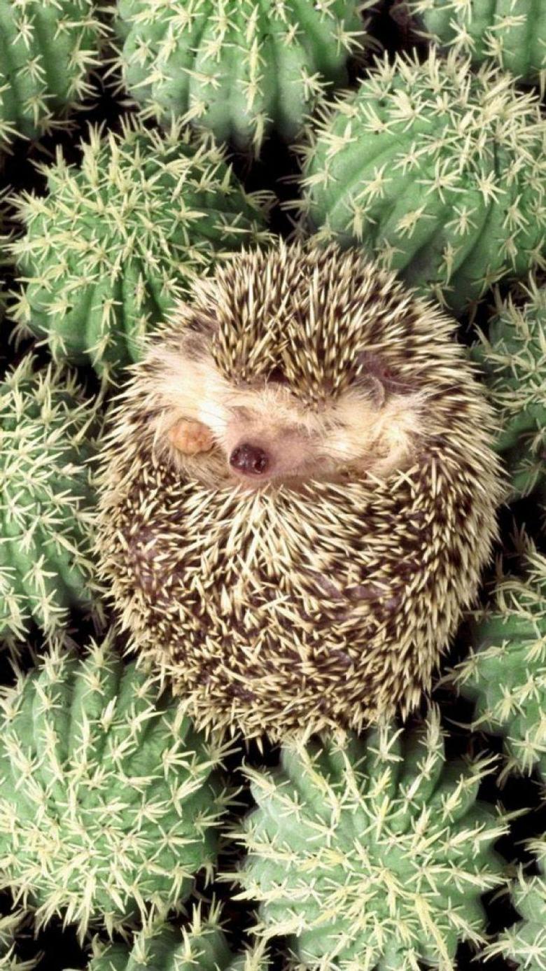 best Hedgehogs image