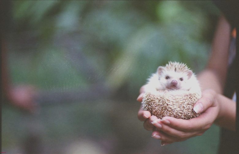 Hedgehog Wallpapers How to Keep African Pygmy Hedgehogs as Pets