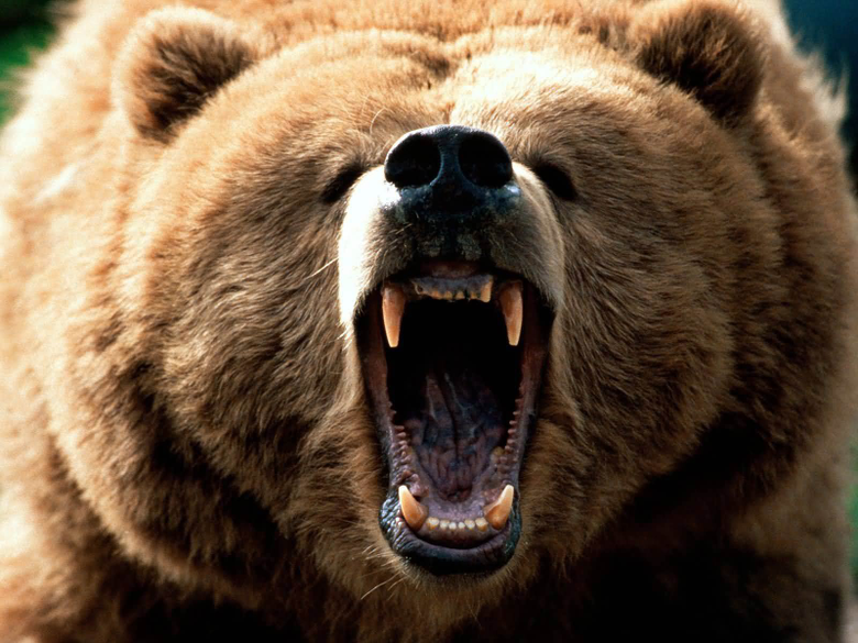 Grizzly Bear Desktop wallpapers