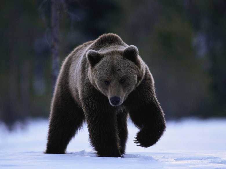 Grizzly Bear Running in the Snow Stock Photo and Wallpapers