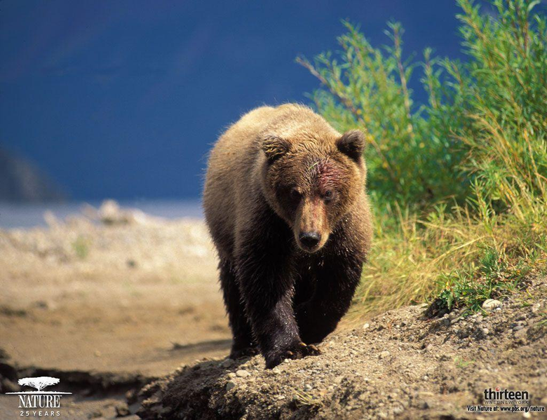 Grizzly Bear Wallpapers
