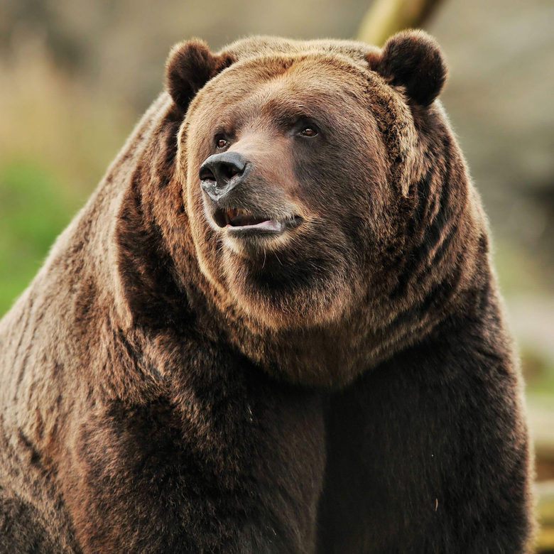 Grizzly Bear Portrait HD iPad Wallpapers