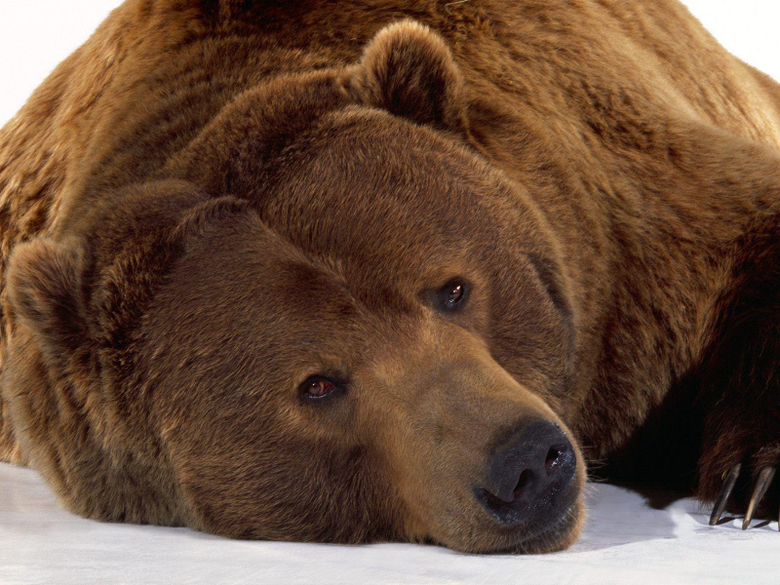 Wallpapers with grizzly bears