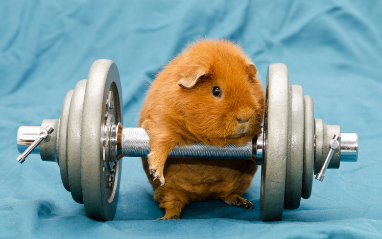 humor Animals Dumbbells Gyms Working Out Guinea Pigs