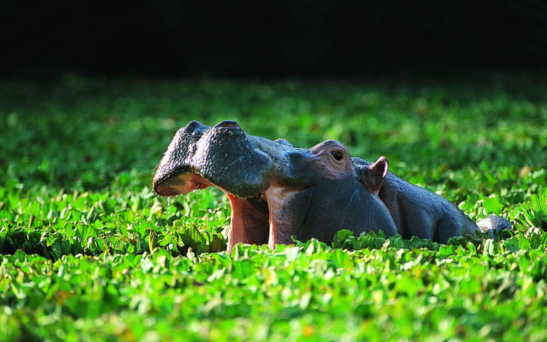 Awesome Hippo Wallpapers Desktop Wallpapers
