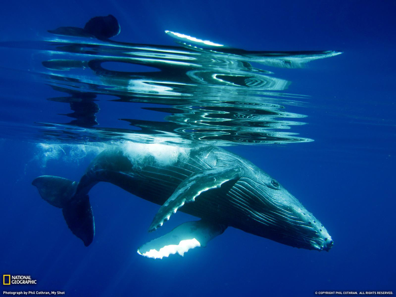 Humpback Whale Song Hd Wallpapers backgrounds
