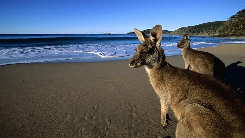 Wallpapers Kangaroo Eastern Grey Kangaroos on the Beach Australia