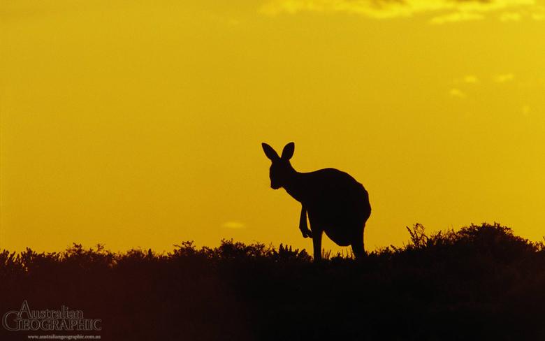 Kangaroo Sturt National Park New South Wales The