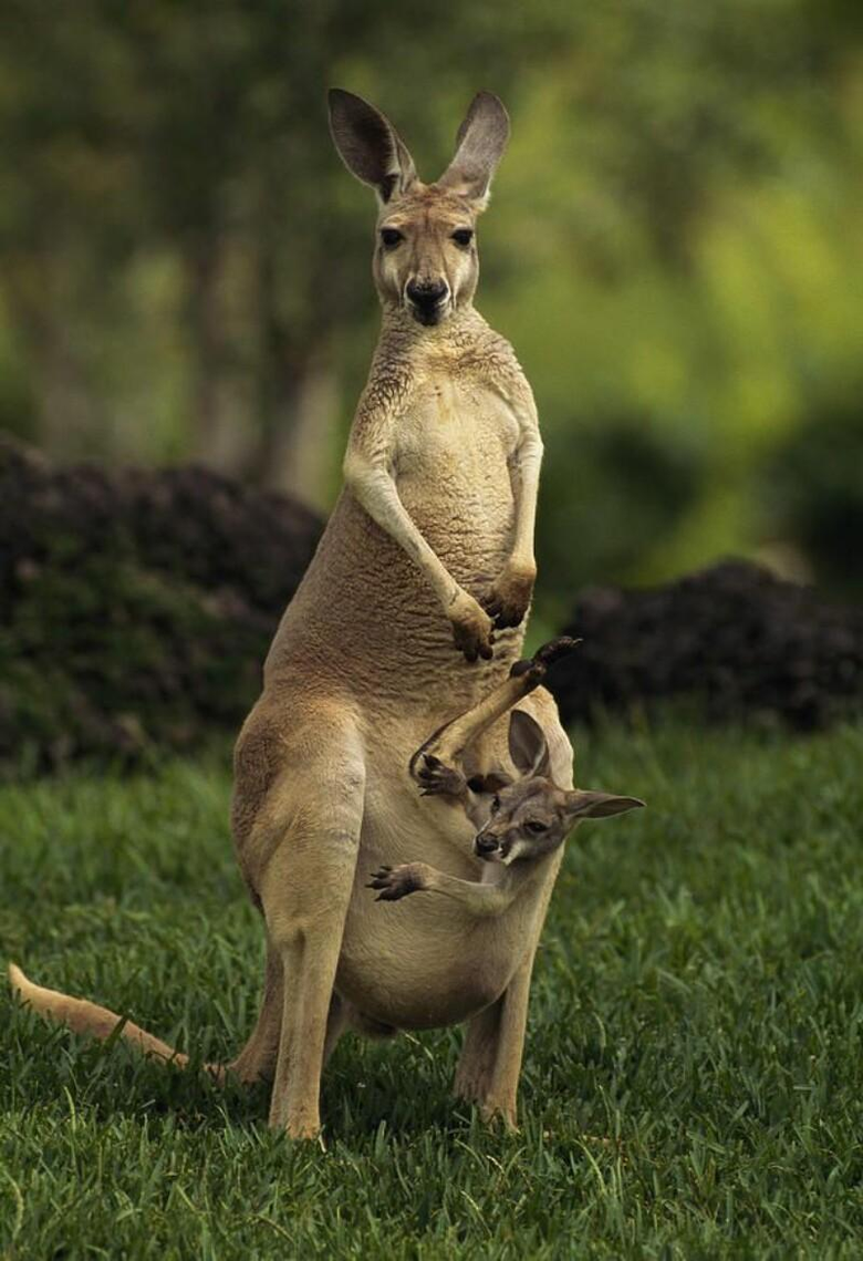Animals Beautiful Australia Kangaroo Wallpapers