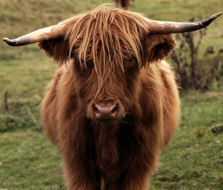 Loved these woolly cows in scotland