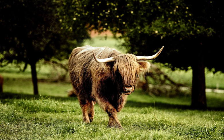 Silly Highland Cow Sketch Wallpaper Backgrounds
