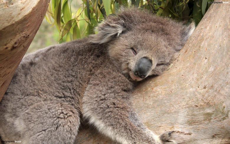 Sleeping koala HD Wallpapers