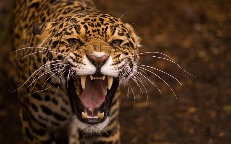 Jaguar HD Wallpapers