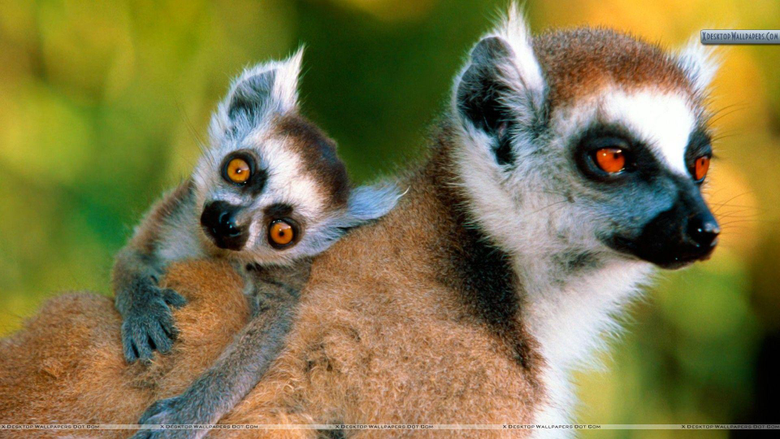 Ring Tailed Lemurs Wallpapers