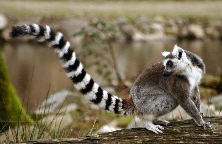 Awesome Tailed Lemurs HD Wallpapers