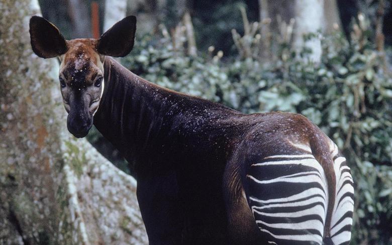 Saving Okapi in the Democratic Republic of Congo