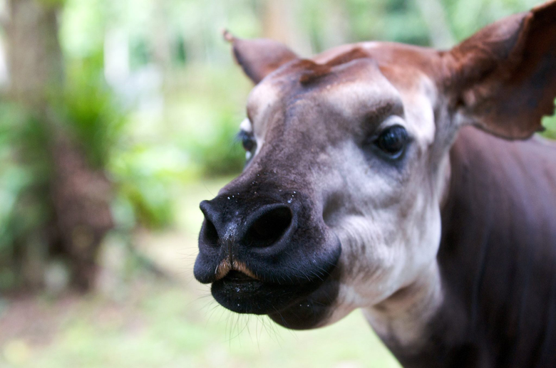 The Okapi The Shy Forest Dwellers of Central Africa