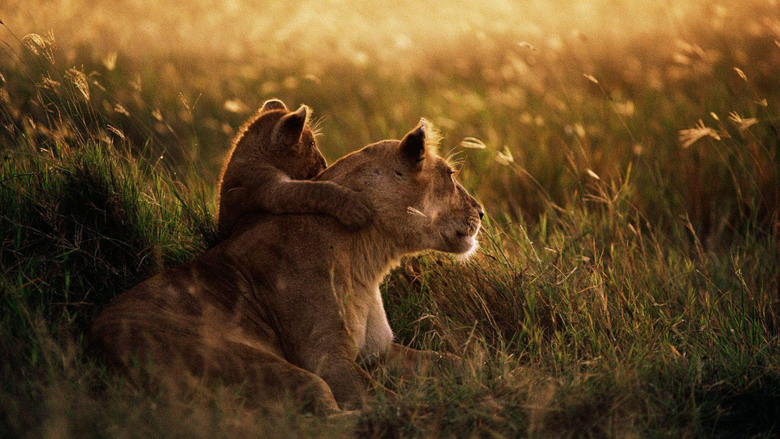 African Lion Wallpapers