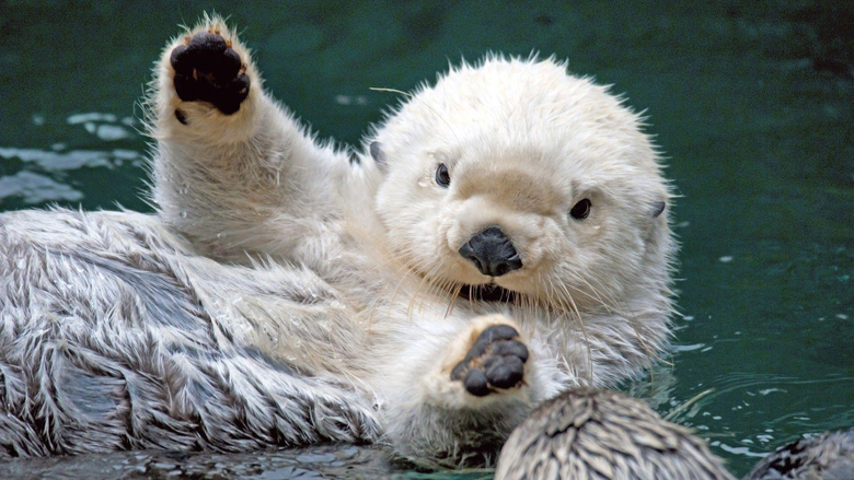 Otter HD Wallpapers