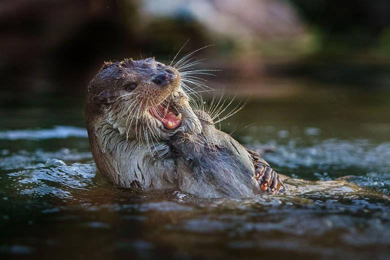 Otter HD Desktop Wallpapers