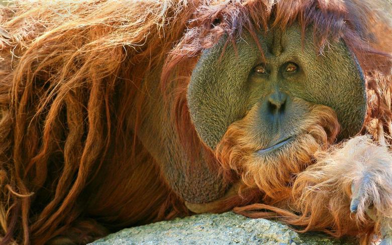 Orangutan resting on the rock wallpapers