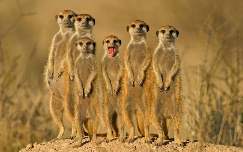 Mongoose HD Wallpapers