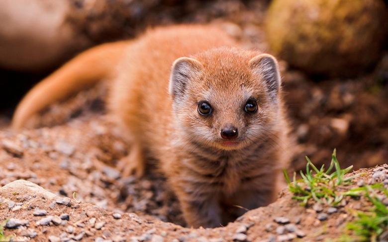 Wallpapers animals wildlife mongoose meerkat fauna mammal