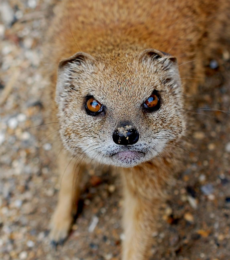 Mongoose Wallpapers High Quality