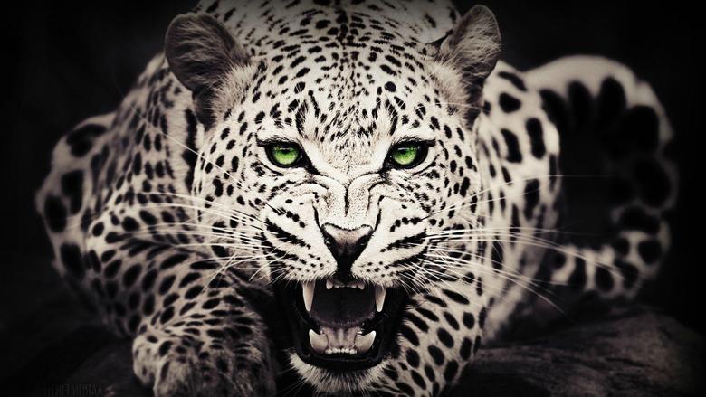 Black Leopard Wallpapers
