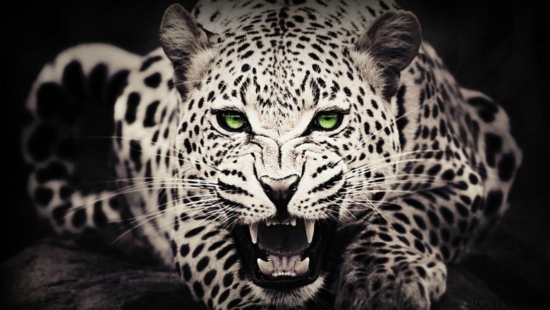 Leopard Wallpapers Full HD
